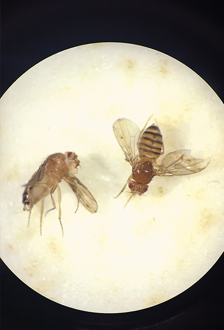 Fruit flies under the microscope