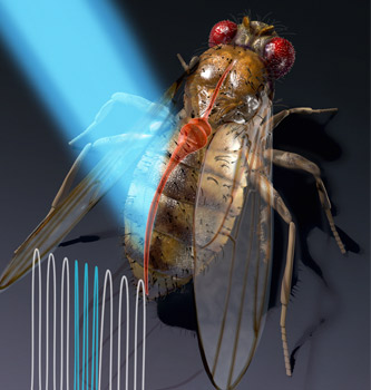 Close-up illustration of fruit fly