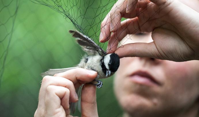 Chickadee caught in net