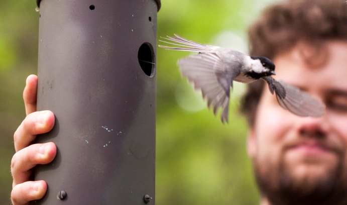 Hybrid chickadee flies in front of researcher at Lehigh University