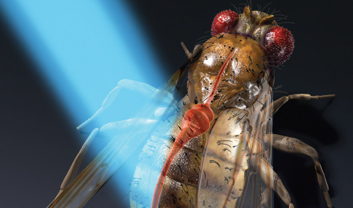 Light shining on a fruit fly, revealing its heart.