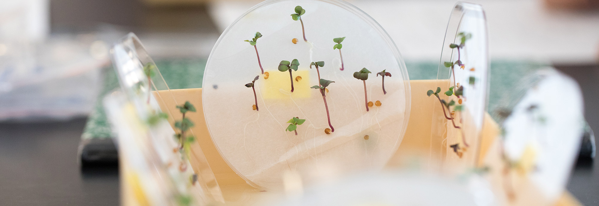 Petri dish with plants growing