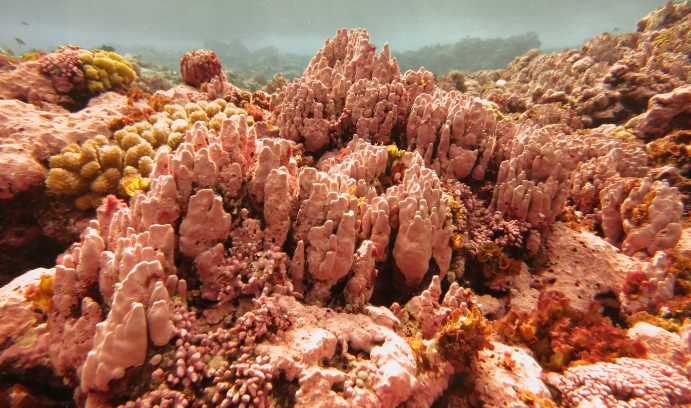 The Rose Atoll Marine National Monument, one of the world's most pristine atolls, is home to a diverse group of marine species as well as the pink-hued bubblegum coral. (Image courtesy of Wendy Cover/NOAA)