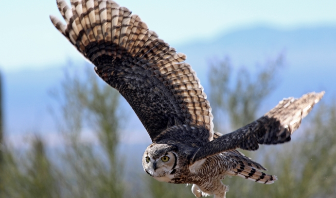 By suppressing the noise of its wings at certain sound frequencies, says Justin Jaworski, the owl is able to fly soundlessly and surprise its prey. (Image courtesy of iStock / Wendi Evans)